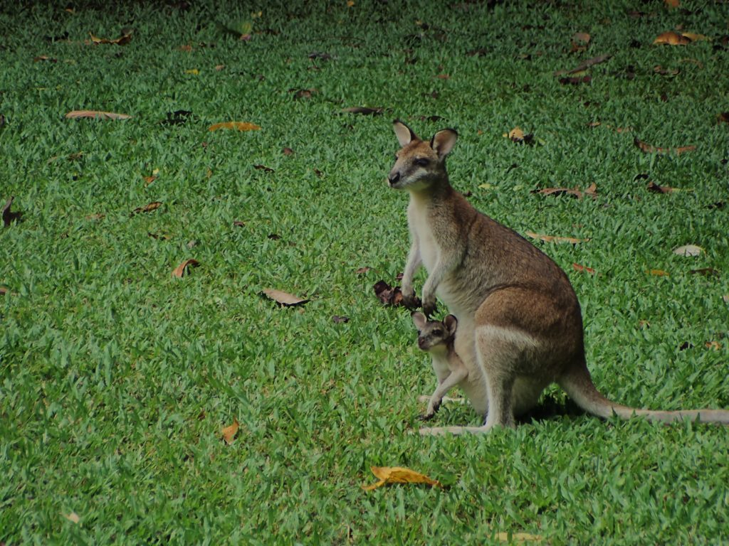Wallaby - Daintree Forest
